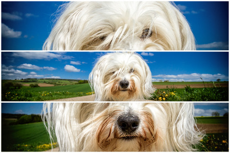 triptych: A triptych of a white Havanese has taken place in a lichen Somme countryside