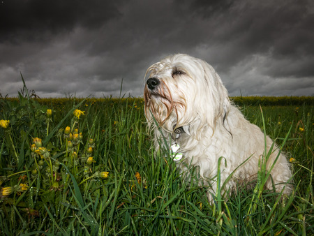 listless: In bad weather sits a wet and listless white Havanese in the grass Stock Photo