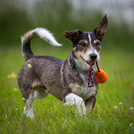 A Little Dachshund, Terrier Mix raging around in a meadow with a toy in its mouth  Reklamní fotografie