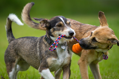 Two dogs playing together with a toy in a green meadow