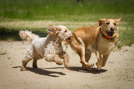 A Labradoodle Labrador and a run together through the sand and chase each other