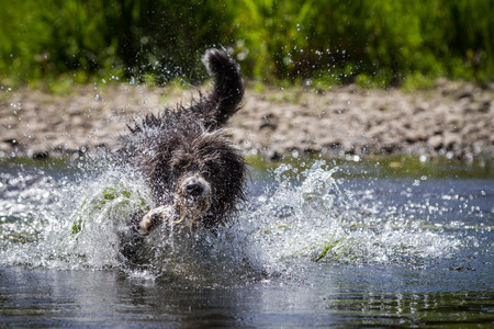 A Border Collie, Bearded Collie Mix thirsty raging water that there is only so injected  photo