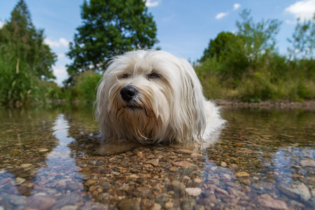 Little White Havanese is in the water  photo