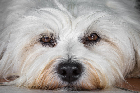 Small white Havanese in close-up