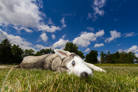 living things: A husky with blue eyes lying in a meadow on the dog a blue sky with clouds