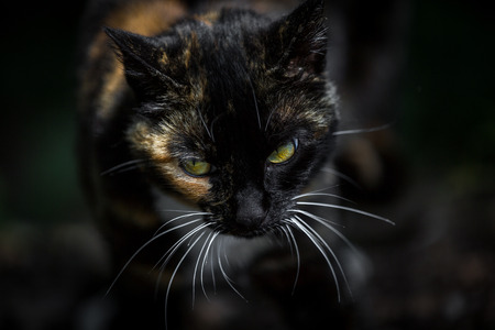 calico cat: A multicolored calico cat comes up to the photographer