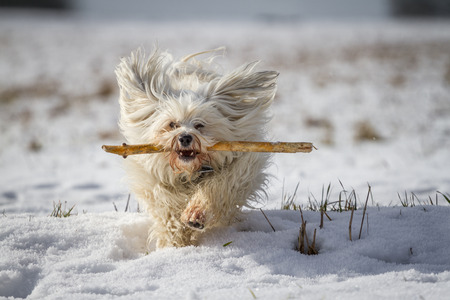 retrieves: A white small dog retrieves a stick in the snow
