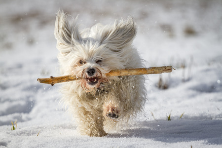 A white small dog retrieves a stick in the snow