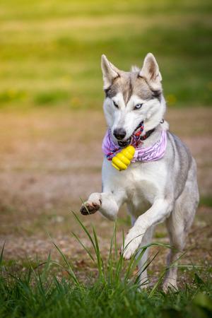 Husky lady retrieves her yellow toy