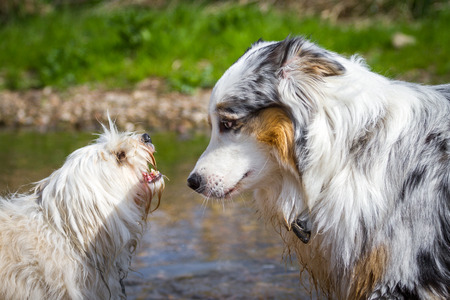 intimidated: An Australian Shepherd can be intimidated by a little white dog  Stock Photo