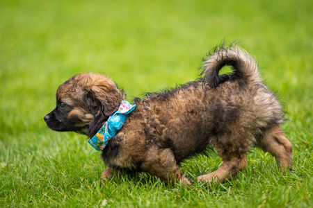 Little puppy with a blue scarf running through a meadow Stock Photo - 30790143