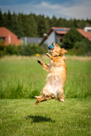 air jump: Small brown dog with a ball in its mouth at an air jump  Stock Photo