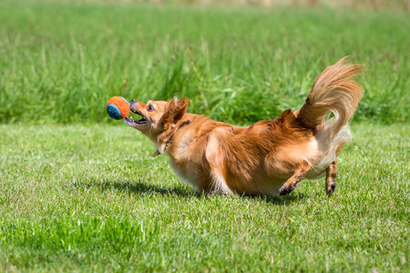 quadruped: Small brown dog while playing with a ball on a green meadow  Stock Photo