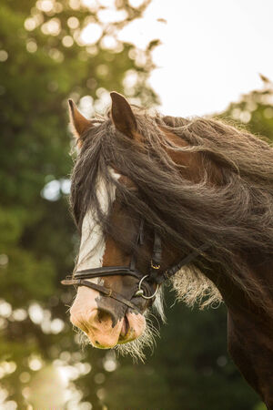 shire horse: A Shire Horse as a portrait shot with sunshine in the background
