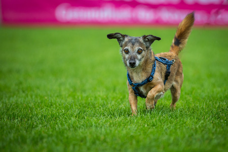 quadruped: Small brindle mixed breed dog running with big eyes on a meadow  Stock Photo