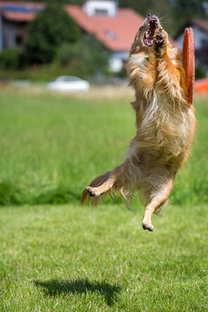 failed attempt: A small brown dog in the failed attempt to catch a flying disc Stock Photo