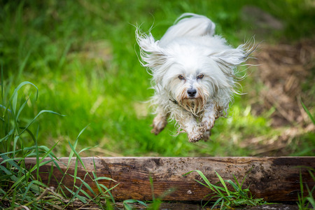 quadruped: Small white dog jumps over a tree trunk  Stock Photo