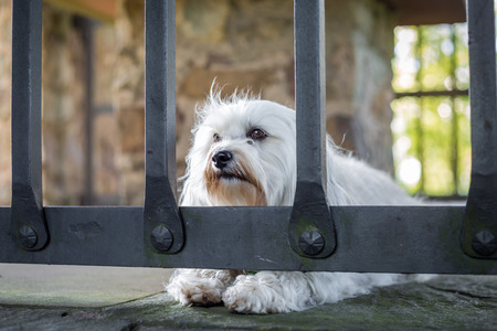 havanais: A small white dog lies behind a grating on the stone floor