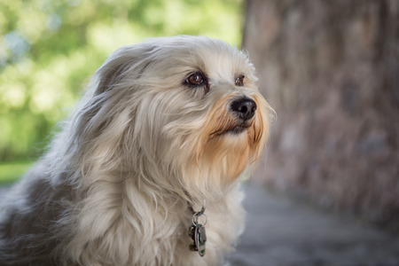 havanais: A small white Havanese looks slightly out of the picture