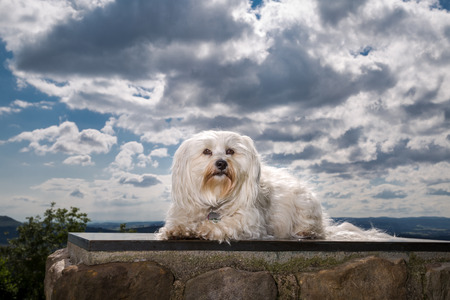 quadruped: A small white Havanese is on a stone pedestal, looking friendly to the camera  Stock Photo