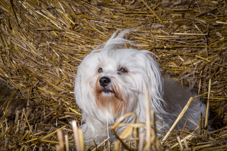 quadruped: A small white dog lies in front of a straw bale in the evening sun