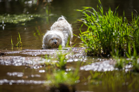 quadruped: A Little White Dog in the water, but he goes down the front and stretched the rump in the air Stock Photo