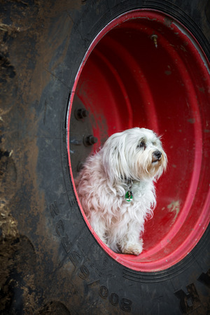 quadruped: A small white dog sitting in the rim of a large agricultural machine Stock Photo