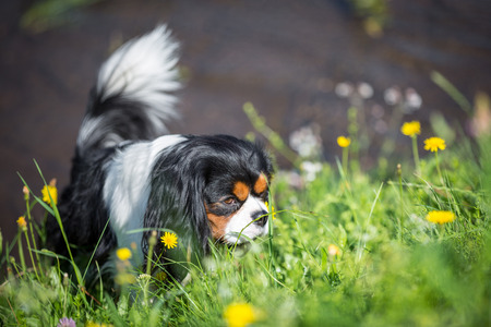 cavalier king charles spaniel: A Cavalier King Charles Spaniel sniffs in a meadow. Stock Photo
