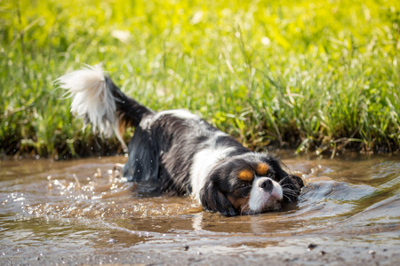 spaniel: A small dog lies down head first stretched into a puddle.