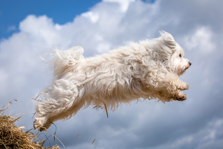 havanais: A Little White Havanese while flying through the air.