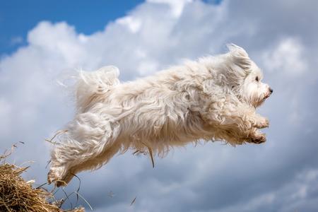 havanais: A Little White Havanese while flying through the air.