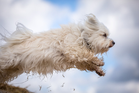 quadruped: A small white Havanese while jumping through the air. Stock Photo