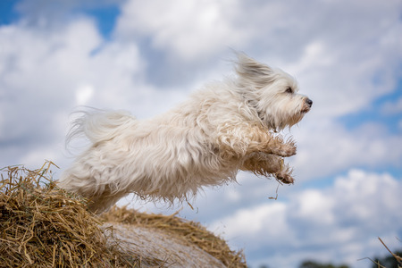 Small white dog jumps from a straw bale to the next.