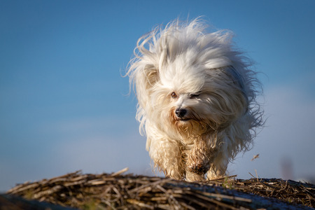 swells: The coat of a little white dog swells up like a ball.
