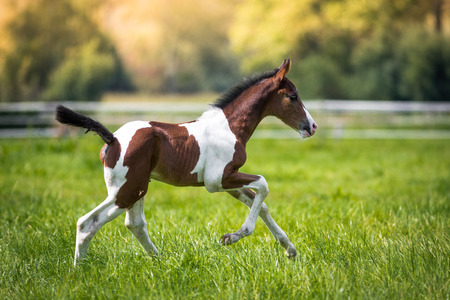 Still very young brown  white foal runs across the pasture. Reklamní fotografie