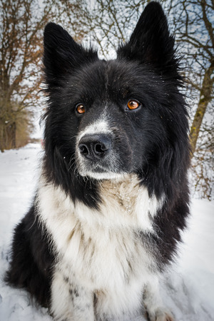 quadruped: A proud Eurasians with black and white patterned fur and bright brown eyes.