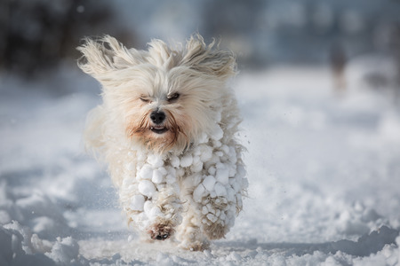 A small white Havanese with lots of snow in fur ball.