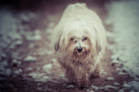 bad mood: A small white Havanese runs in a bad mood by the world.