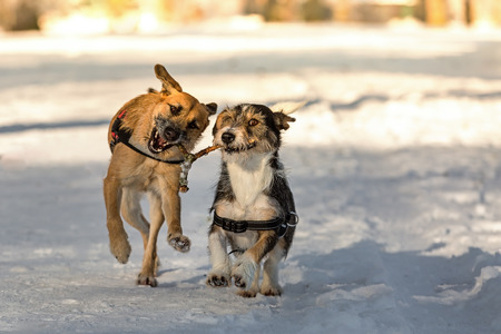divining: Two dogs running through the snow with a branch in its mouth that looks like a divining rod. Stock Photo