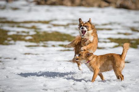 kampfhund: Zwei junge Mischlingshunde am Spiel im Schnee.