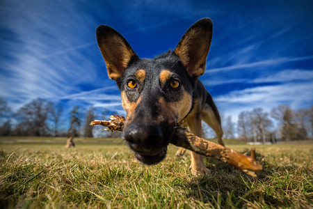 Curious dog with stick in his mouth, in a close up. Reklamní fotografie
