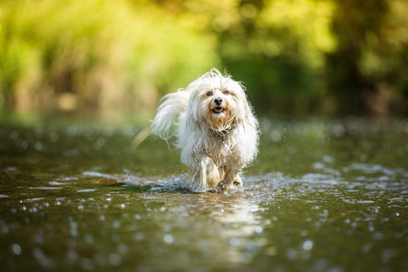 havanese: Little White Havanese goes through the water of a shallow river.