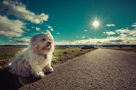 havanese: Little White Havanese sits by the roadside, waiting.
