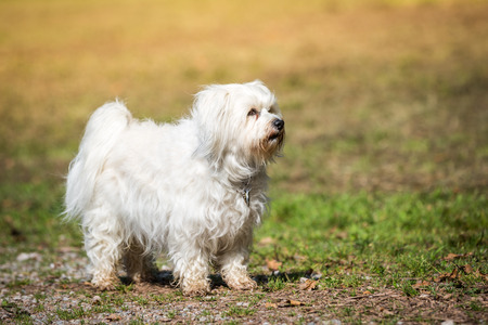 havanese: Little White Havanese is with great pride in a meadow, watching the terrain.