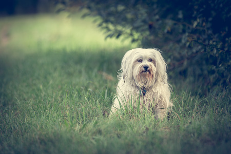 small white dog: Small white dog sitting in a green meadow