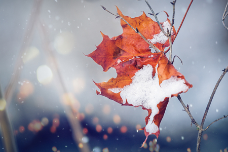 replaces: The Winter replaces the Fall, represented symbolically with a slightly snow covered maple leaf. Stock Photo