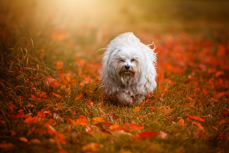 small white dog: Small white dog running through a meadow covered with leaves.