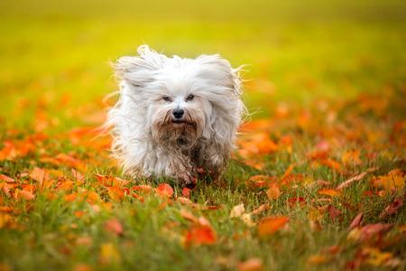 Small white dog running through an autumn meadow. Stock Photo