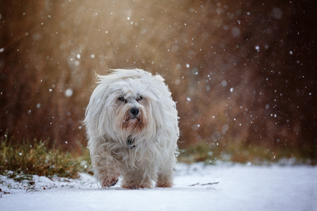 havanese: Little White Havanese runs during snowfall through the snow and look slightly past the photographer.