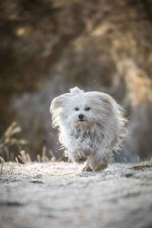 Small white dog runs quickly over the road covered with rime.